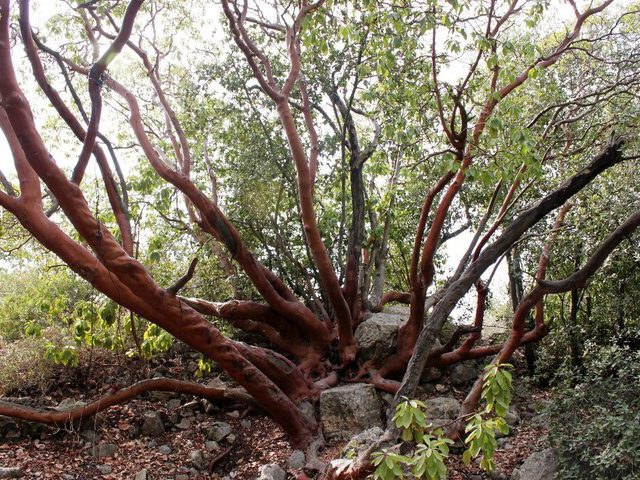 Eastern Strawberry Tree (Arbutus andrachne)