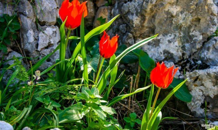 Tulips near Kfar Giladi