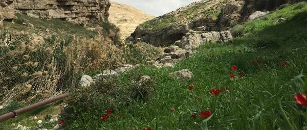 Spring Flowers Blooming in Wadi Qelt