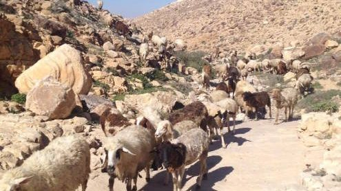 herd of sheep in the Israeli desert