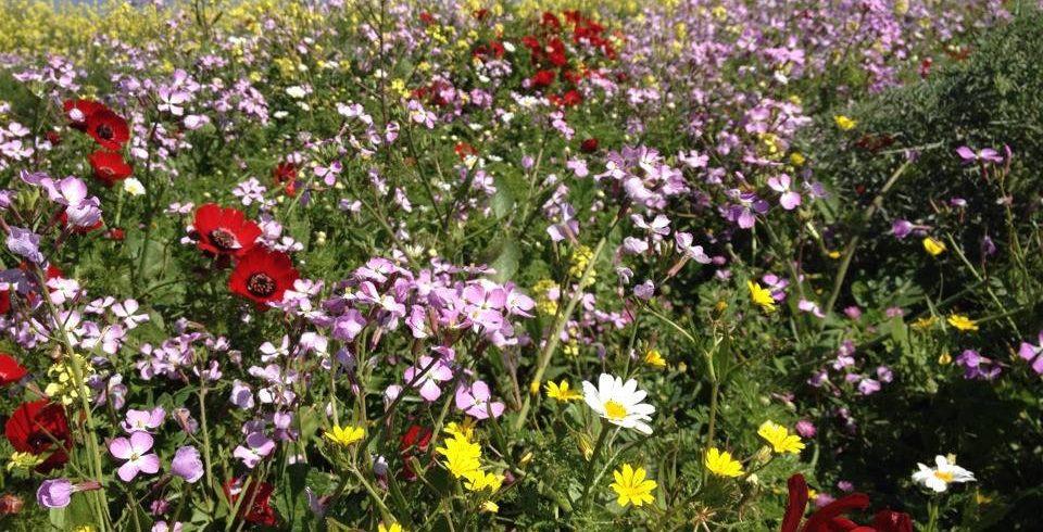 Wiildflowers on mount Gilboa