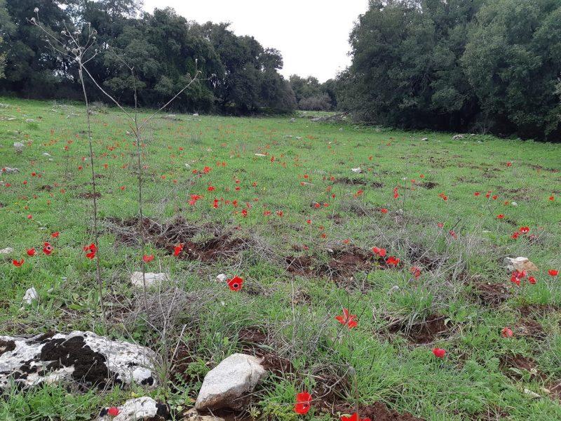 Wildflowers in the Upper Galilee