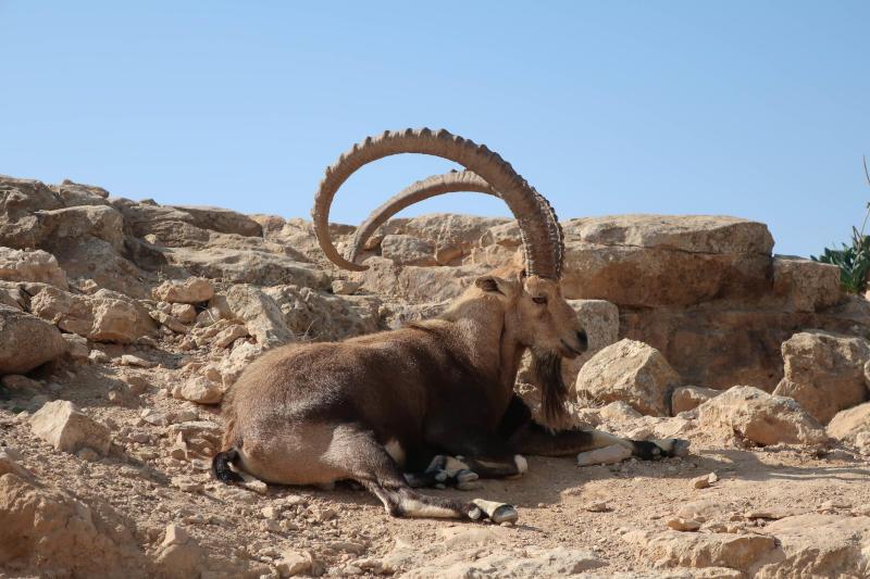 Nubian Ibex at Ein-Gedi
