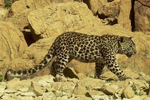 Judean Desert leopard